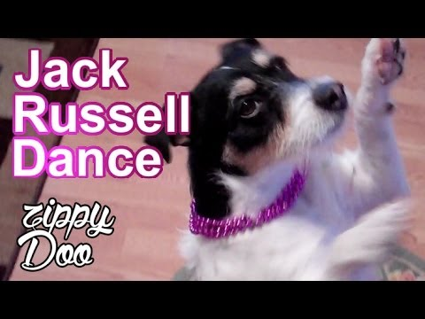 Jack Russell Terrier Dog Dancing