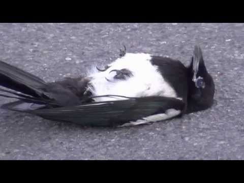 Magpie comes back from the dead