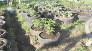 Tire Garden three weeks after planting