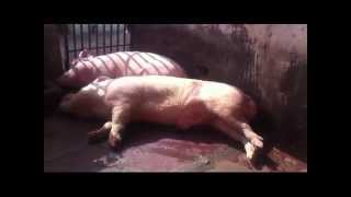 innovative pig farm in india and pig farm consultants nidhish farms 9811284190