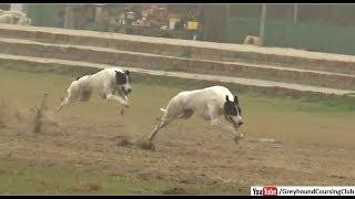dog race 2019 | greyhound race | dog race in punjab