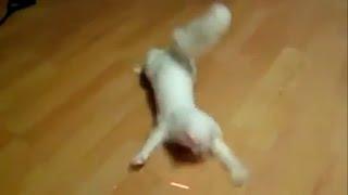 Шустрый кот смешно бегает
