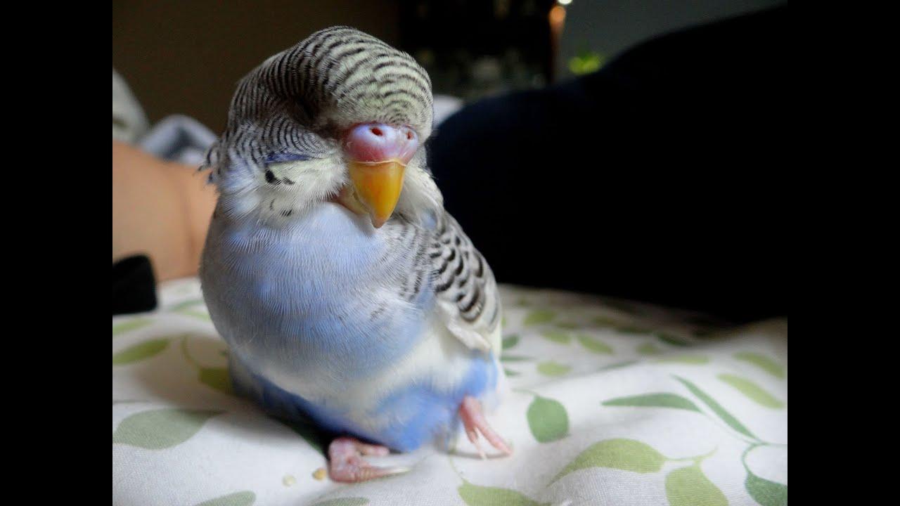 New Bird- Handicapped Budgie - YouTube