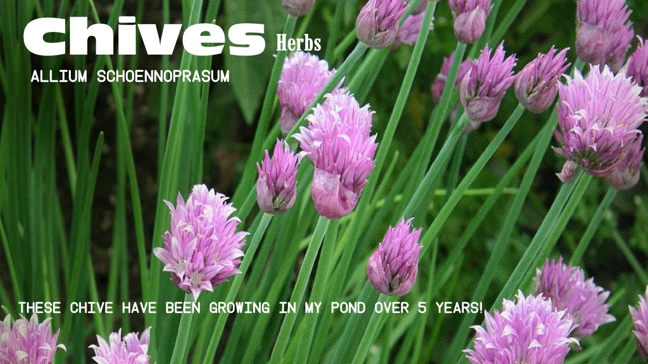 #heirloomreview #chives #plant