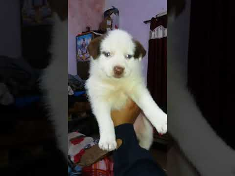 free husky mix puppy for adoption |adopted |