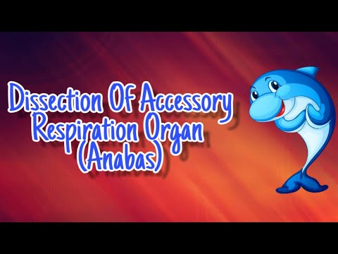 Dissection Of Accessory Respiration Organ (Anabas)