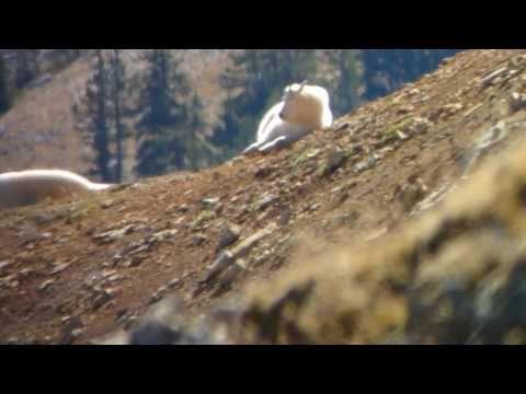 Montana Mountain Goat Hunting 2010