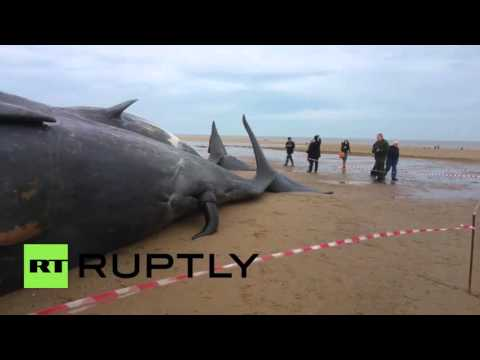 Sperm whales wash up dead on Skegness beach & people snap