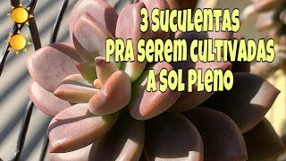3 Plantas Suculentas de Sol Pleno