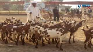 Intensive goat farming and best breeds of goats - Paadi Pantalu