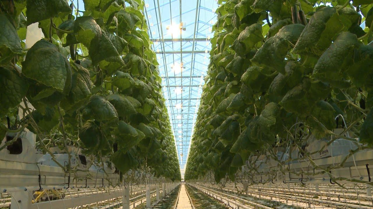 Рассада томатов в ТюмениКупить рассаду помидор