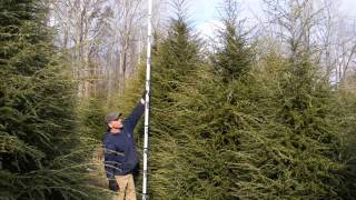 Best Sized Arborvitae to Plant   is 5-6 ft trees