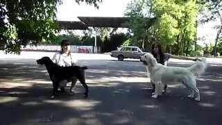 Юные хендлеры Катя и Неля готовятся к выставке собак