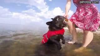 Как научить французского бульдога плавать (видеоурок)