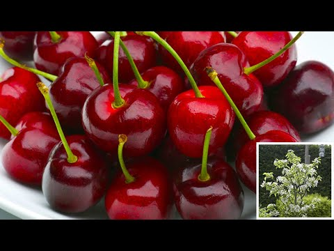 How to Plant Cherry Trees: Easy Fruit Planting Guide - YouTube