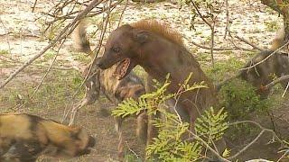 Jackal arrives 10 Wild Dogs corner 1 Hyena