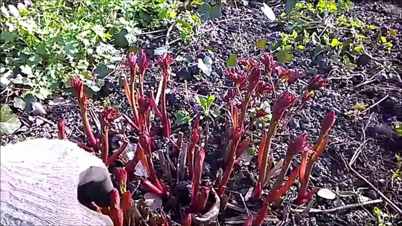Piwonie W Ogrodzie Szybki Wzrost