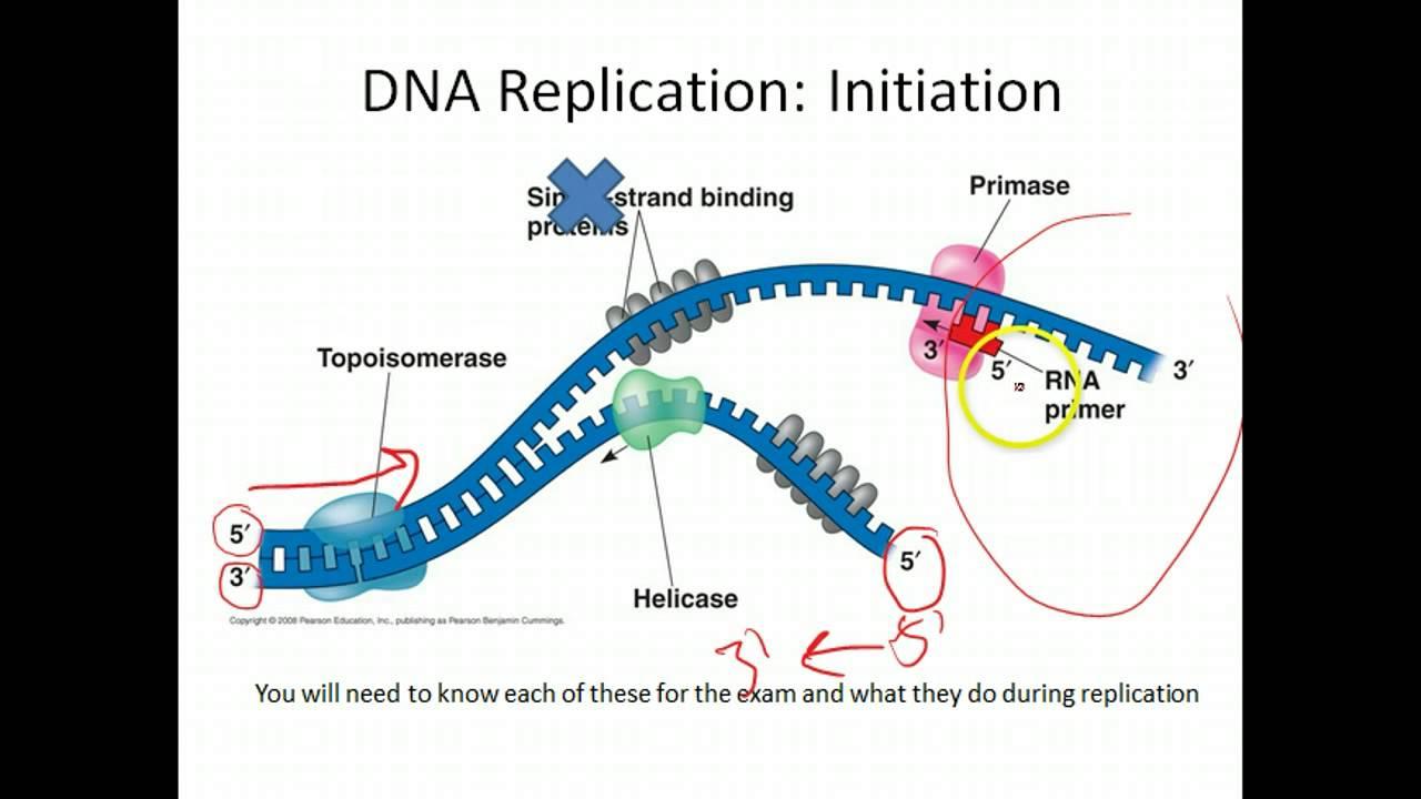 AP Biology: DNA Replication  YouTube