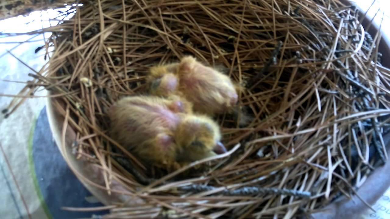 Nido Di Tortore Sul Balcone piccioni appena nati nel nido
