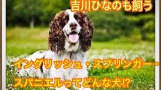 ペットで犬を飼おうと迷っている方へ〜イングリッシュ・スプリンガー・...