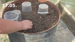 Выращивание огурцов в бочках с компостом