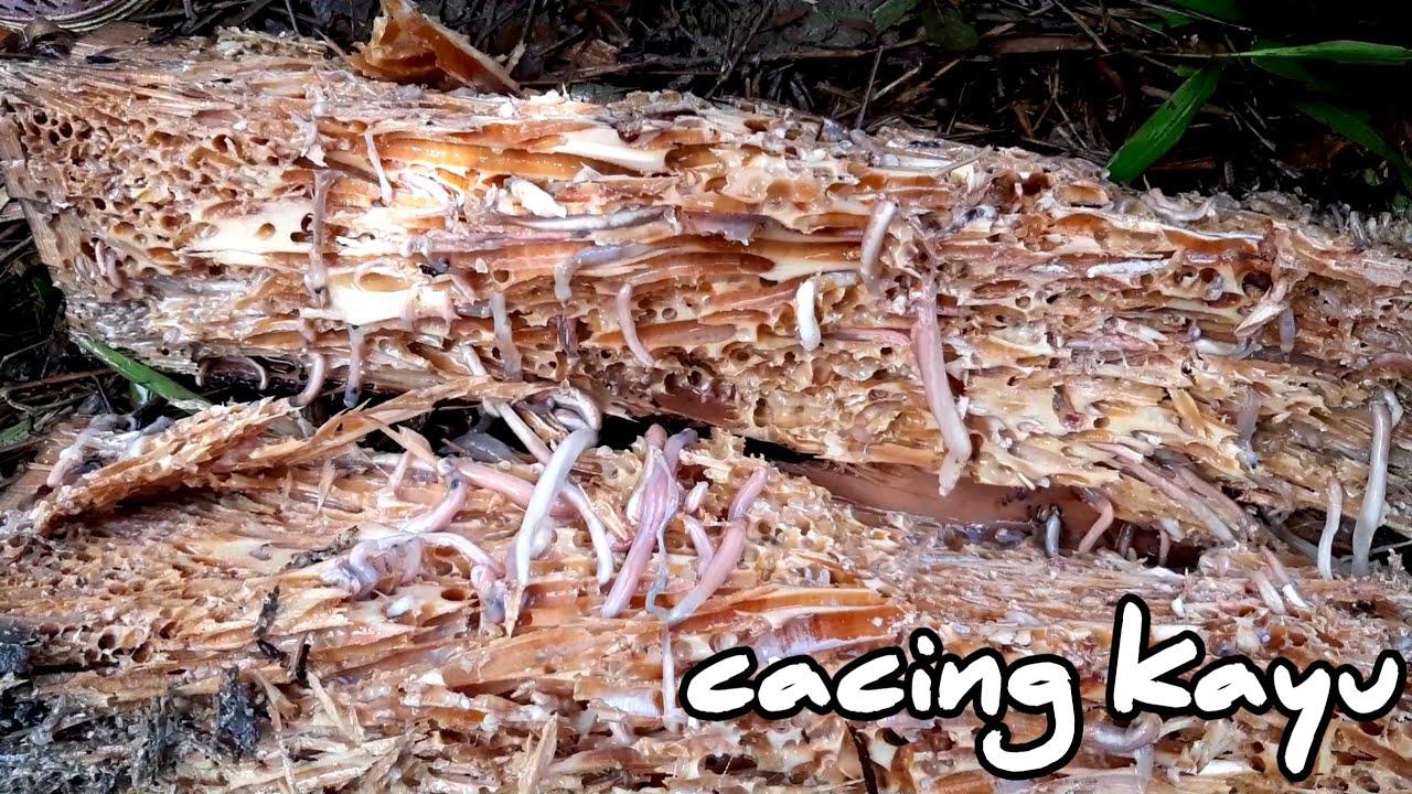 orang makan cacing hidup hidup