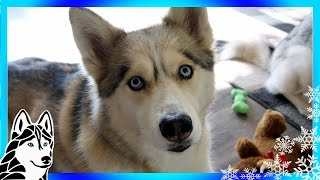 HUSKY URBAN MUSHING CAN I DO IT?  | #AskGTTSD | Fan Friday 263 Q&A