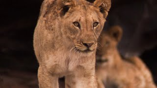 How lions returned to one of the harshest deserts in the world | BBC Earth