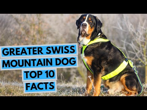 Greater Swiss Mountain Dog - TOP 10 Interesting Facts