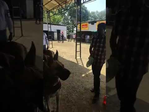 THRISSUR CANINE CLUB 38TH CHAMPIONSHIP DOG SHOW GREATDANE  JUDGEING