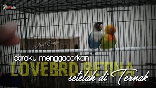 Download lagu FAKTA CARA AMPUH MENGGACORKAN LOVEBIRD BETINA SETELAH DITERNAK