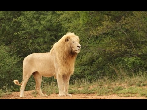 Aninimal Book: Riding a Lion - YouTube