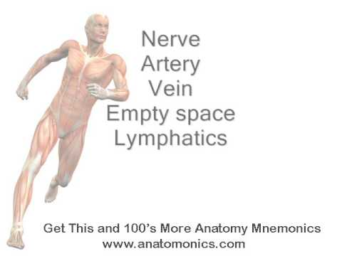 femoral triangle mnemonic - youtube, Muscles