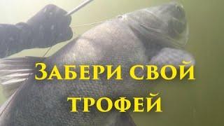 КАК СТРЕЛЬНУТЬ ТРОФЕЙ ИЗ СТАИ Добываем желанный трофей из стаи карася Подводная охота на Волге
