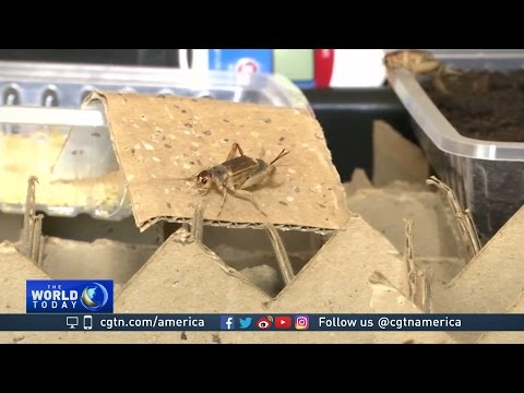 South African entrepreneurs pushing crickets into daily diet