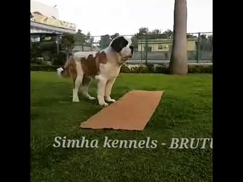 Saint Bernard Kennels In Bangalore Pets Sale In Bangalore Youtube
