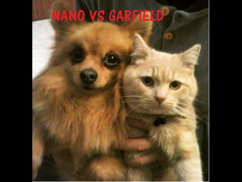 The fight of the century!!! Pomeranian Dog vs cat Garfield!!!