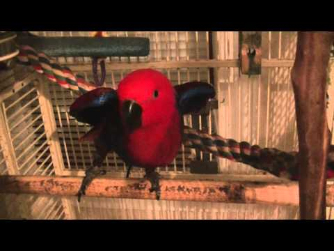 Jenny, the eclectus parrot dancing and talking
