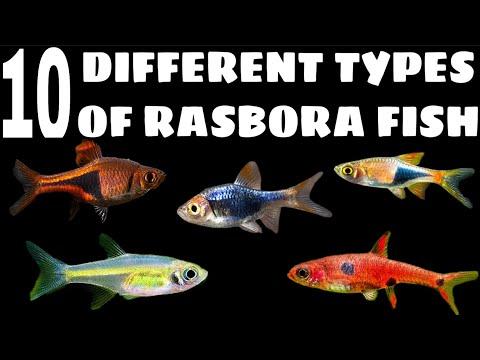 10 Different Types Of Rasbora Fish