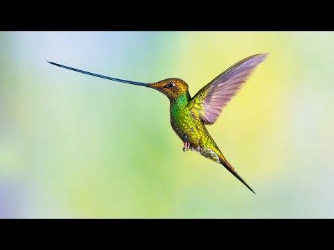 Le colibri porte-épée a du panache - ZAPPING SAUVAGE