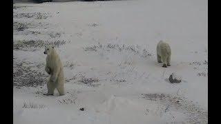 Polar Bear mom and cub at the Tundra Lodge. 15 November 2018