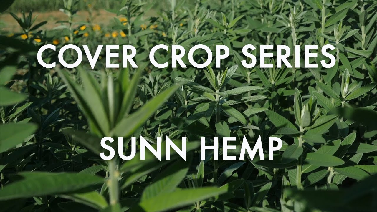 Sunn Hemp: Noble Cover Crop Series