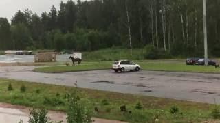 Собаки гоняют лошадь
