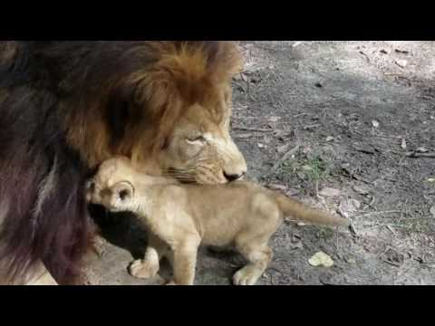 Ashur the  cub playing with his dad