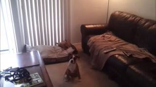 Canyon Boxer Puppy Learns Front Door Manners Utube