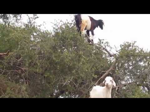 Goats in a Tree, Morocco