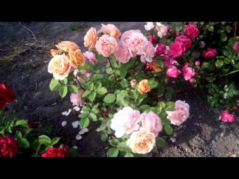 Цветение роз. Лето 2017. Обзор 17.06.2017