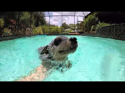 Blue Heeler Puppy Swimming Happily