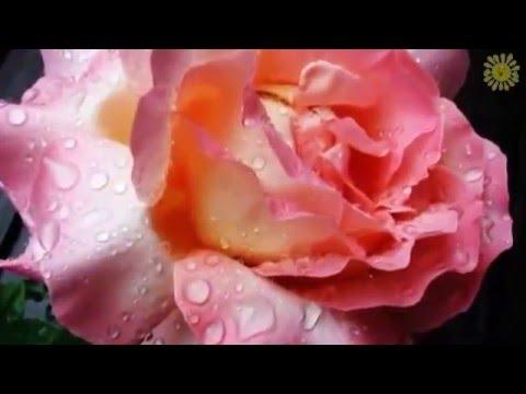 Музыкальная открытка С Днем Рождения для девушки  Цветы для тебя! Красивая открытка св день рождения