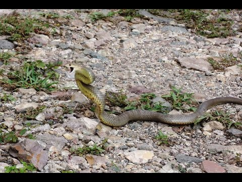 Chased by an Eastern Brown Snake...The Real Truth